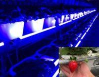 億光研發草莓專用轉色燈,香水草莓顏色轉紅比率增加30%!